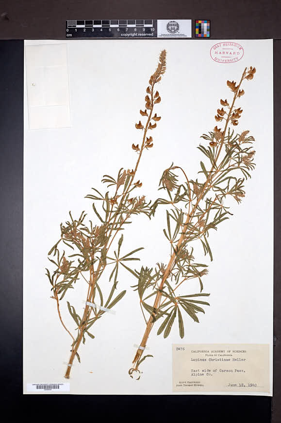 Lupinus angustiflorus image
