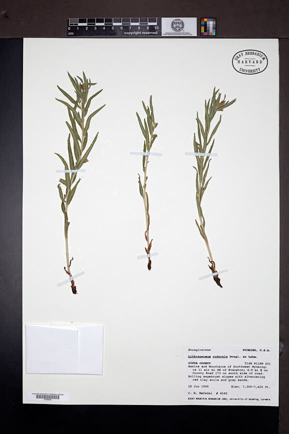 Lappula cenchrusoides image
