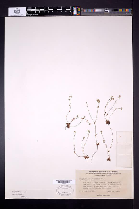 Plagiobothrys tenellus image