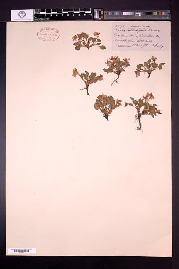 Viola bellidifolia image