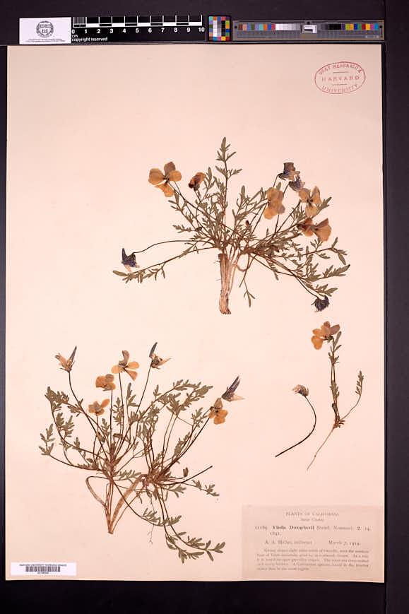 Viola chrysantha image