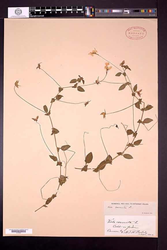 Viola cornuta image