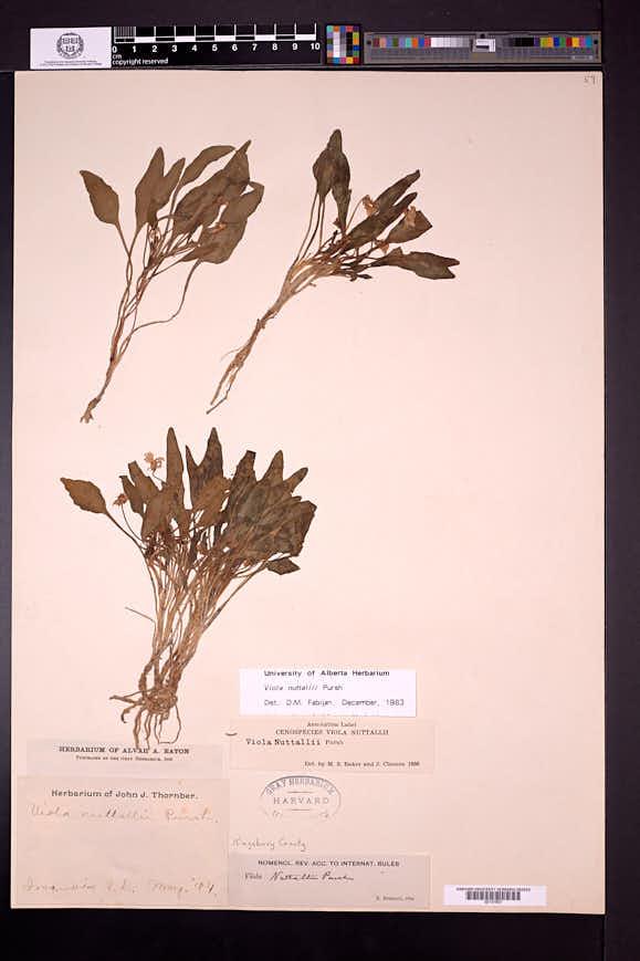 Viola nuttallii image