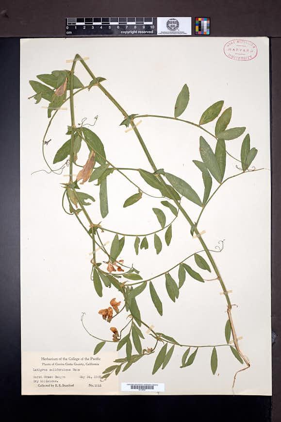 Lathyrus jepsonii image