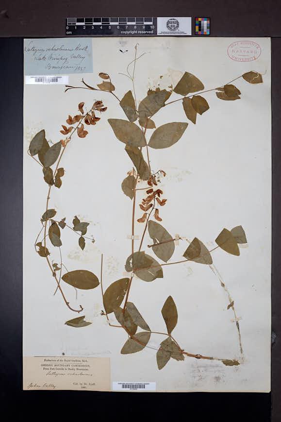 Lathyrus ochroleucus image