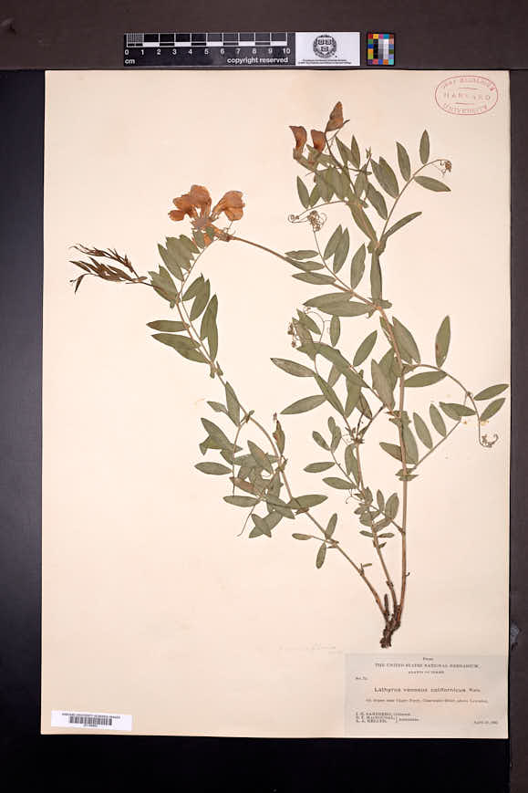 Lathyrus pauciflorus image