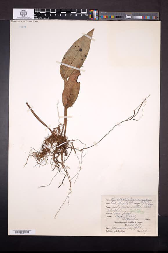 Acianthera cogniauxiana image