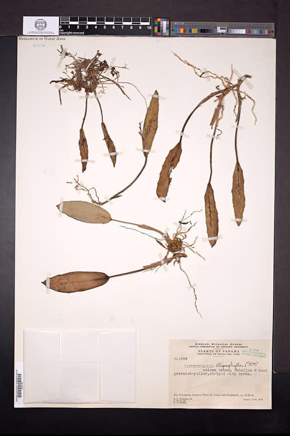 Acianthera ellipsophylla image