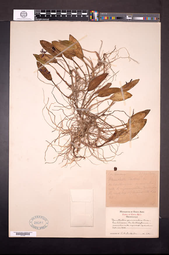 Acianthera geminicaulina image
