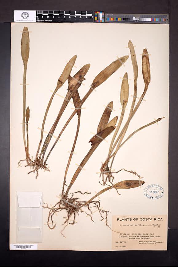Acianthera pantasmi image