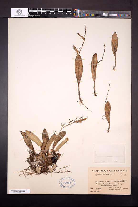 Acianthera ciliata image
