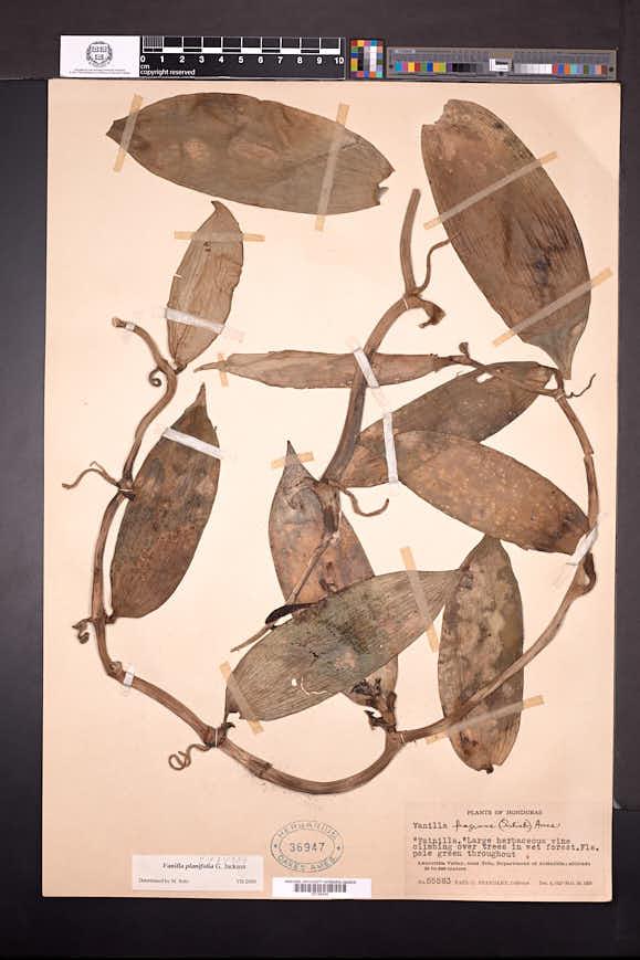 Vanilla planifolia image