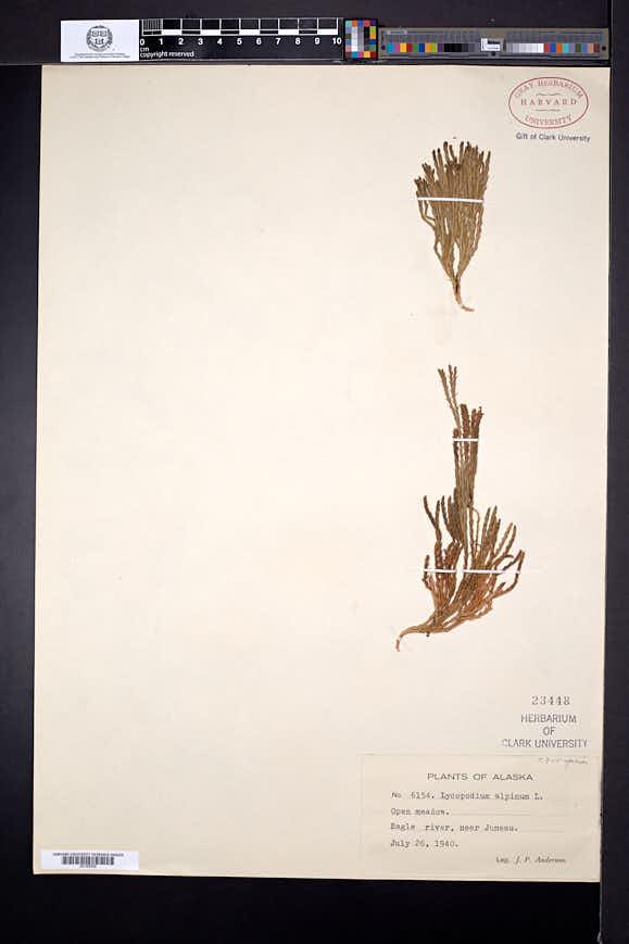 Diphasiastrum alpinum image