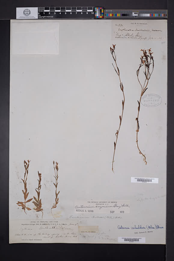 Zeltnera arizonica image