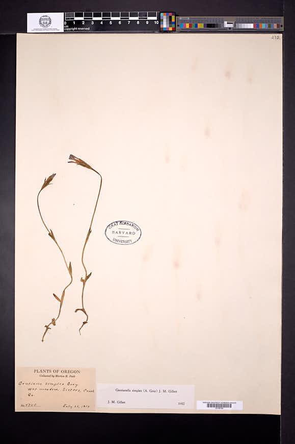 Gentianopsis simplex image