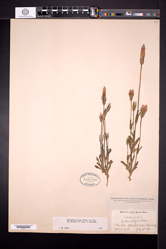 Gentianopsis thermalis image
