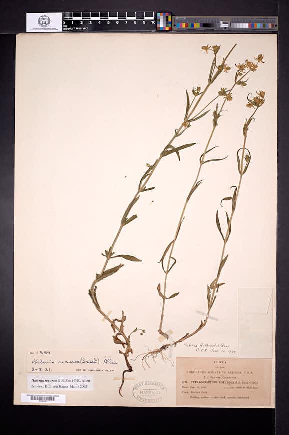 Halenia recurva image