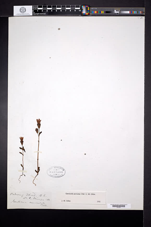 Gentianella auriculata image