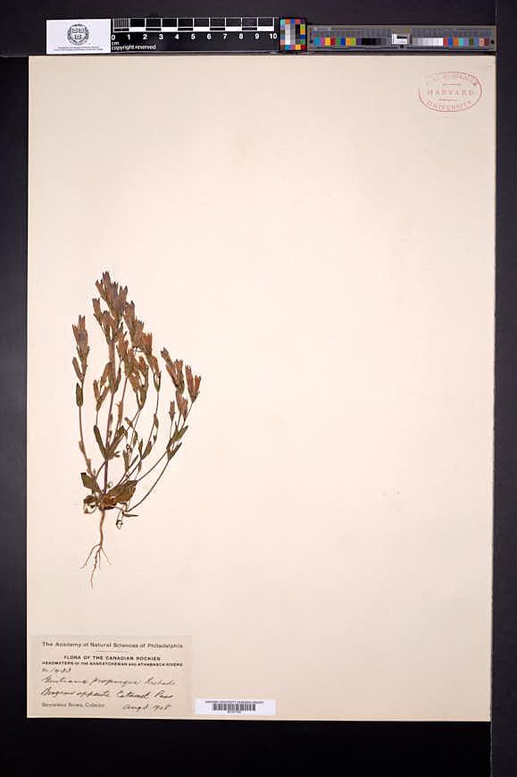 Gentianella propinqua image