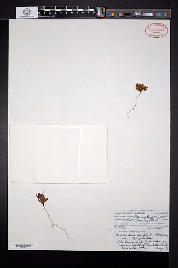 Gentianella tortuosa image