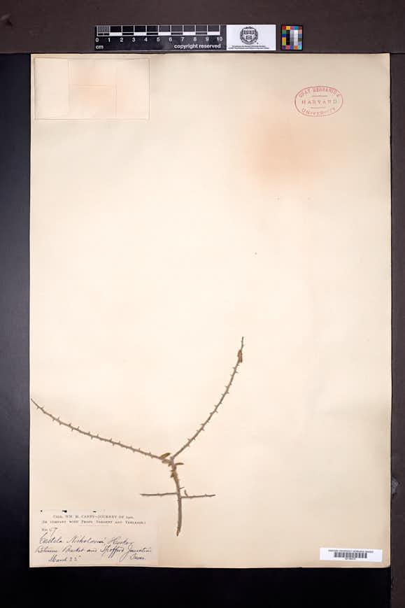 Castela erecta image
