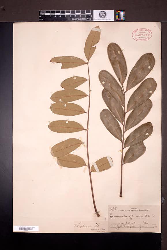 Simarouba glauca image