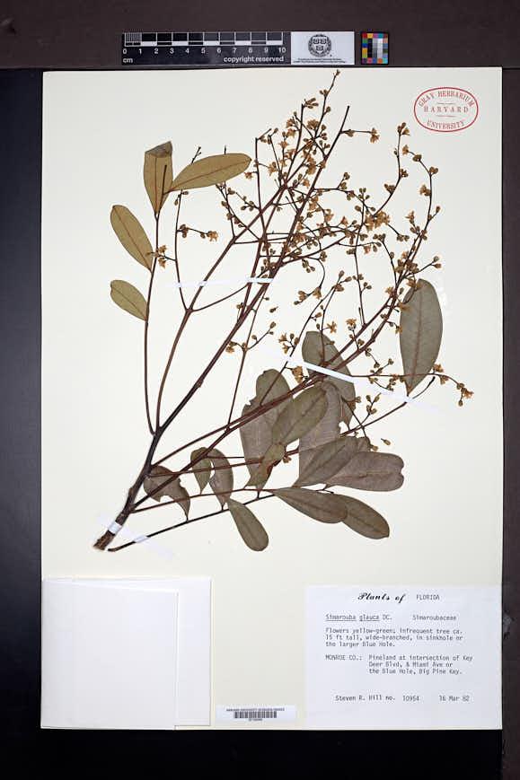 Simarouba glauca var. latifolia image