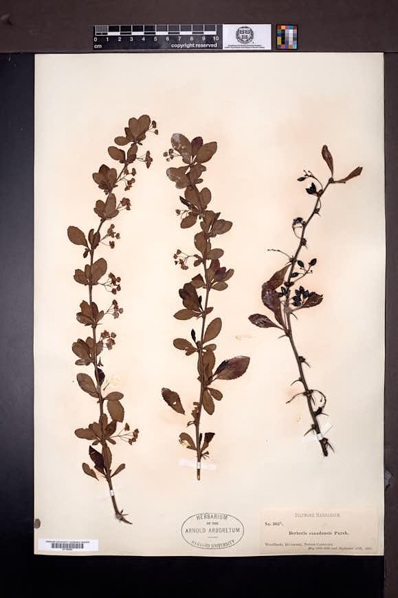 Berberis canadensis image