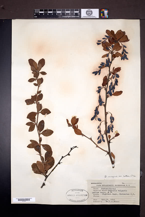 Berberis vulgaris image