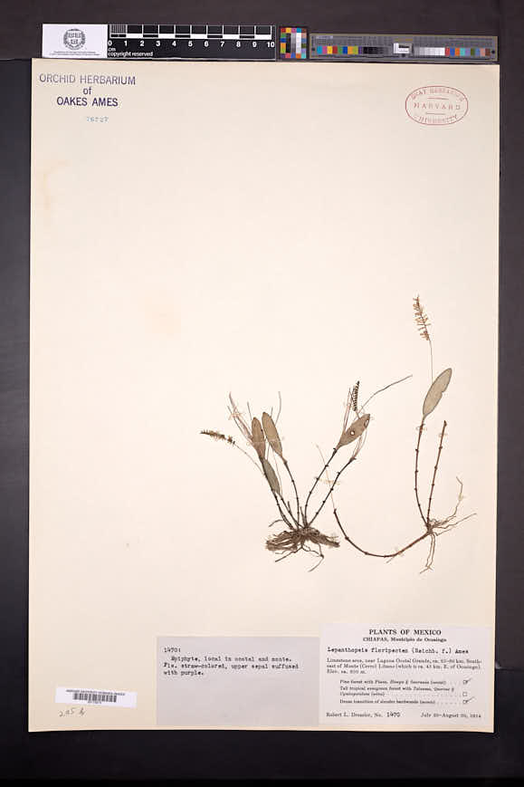 Lepanthopsis floripecten image