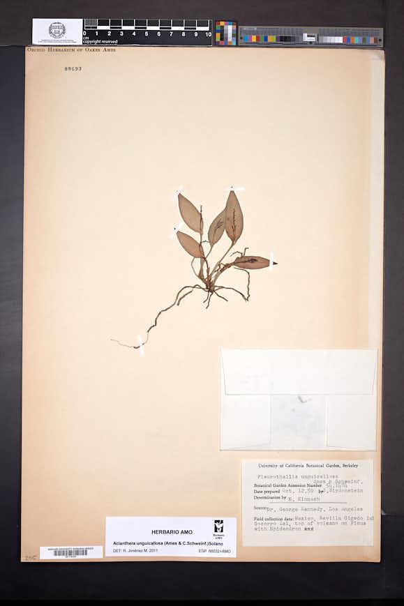 Acianthera unguicallosa image