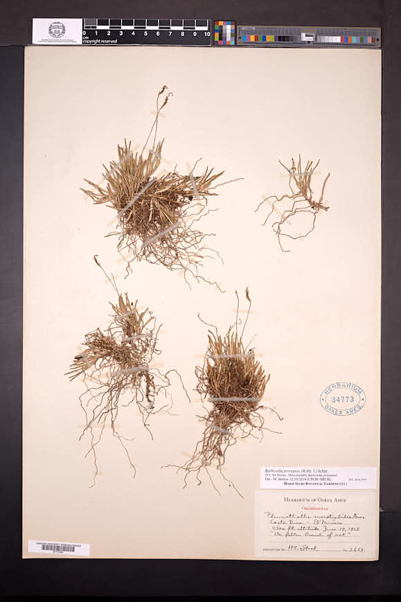 Barbosella prorepens image