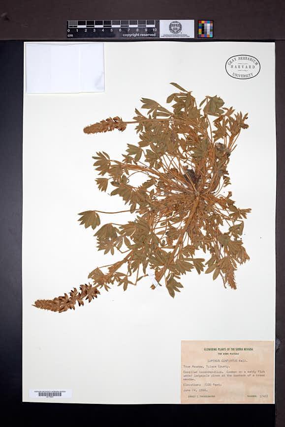 Lupinus confertus image