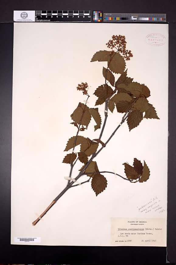 Viburnum dentatum var. semitomentosum image