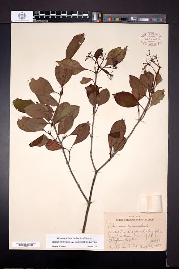 Viburnum cassinoides image