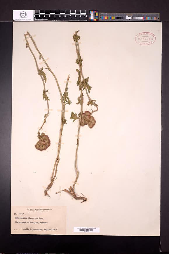 Conoclinium dissectum image