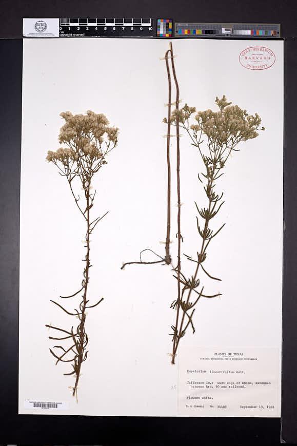 Eupatorium cuneifolium image