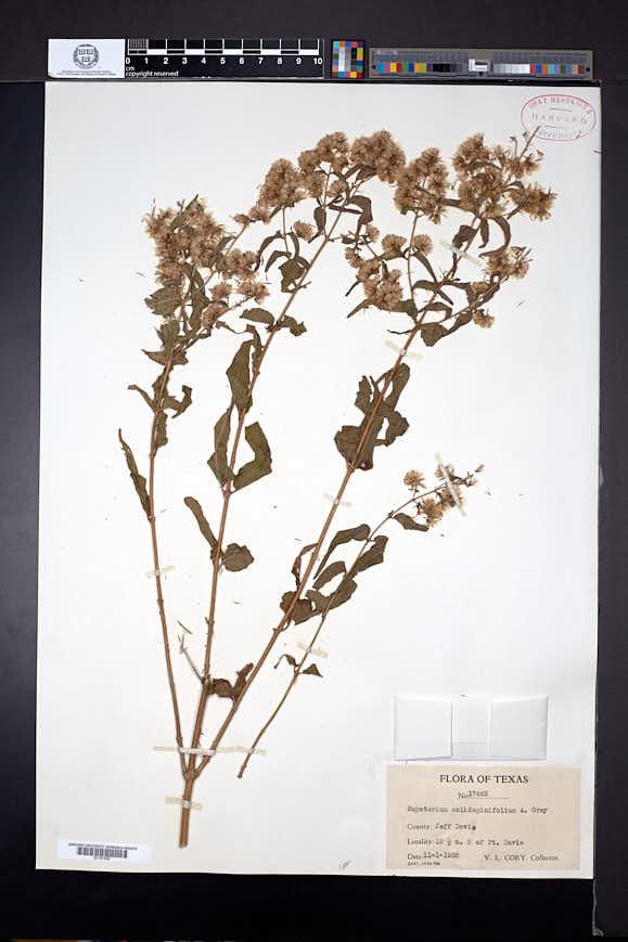 Koanophyllon solidaginifolium image