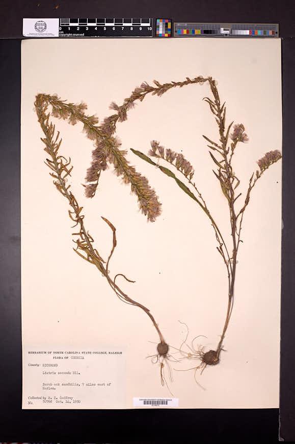 Liatris pauciflora image