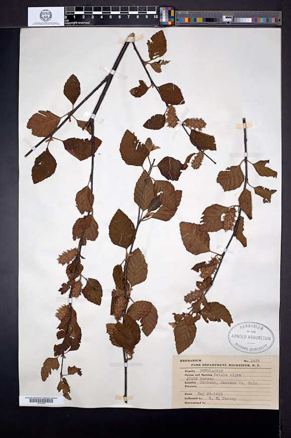Betula nigra image