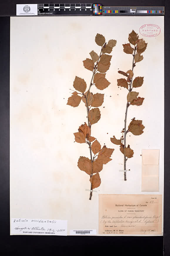 Betula occidentalis image