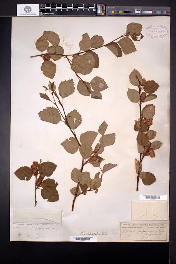 Betula occidentalis image