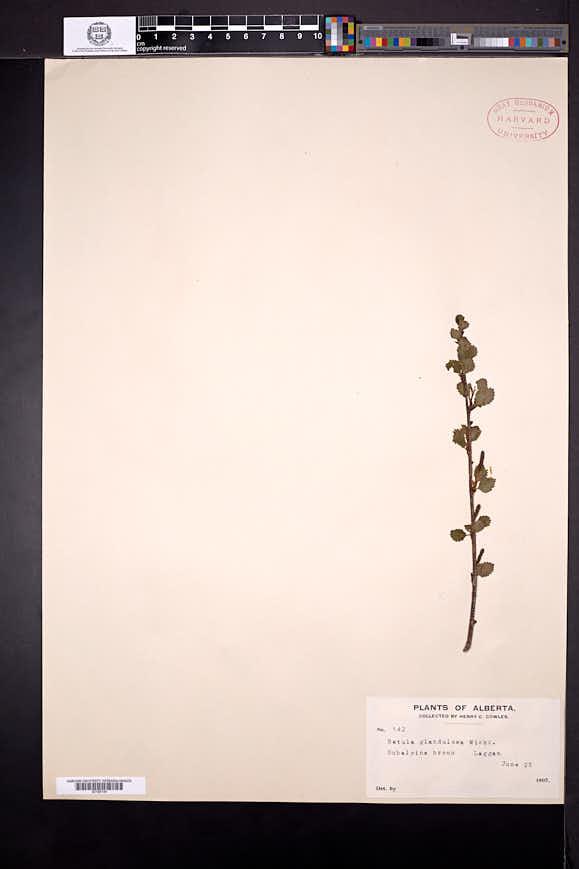 Betula glandulosa image