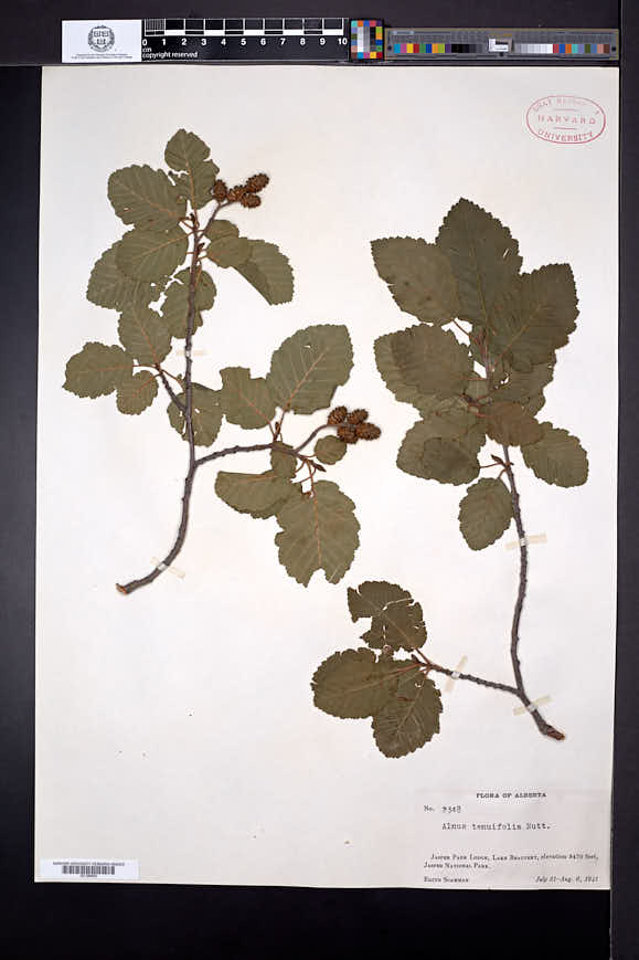 Alnus incana subsp. tenuifolia image