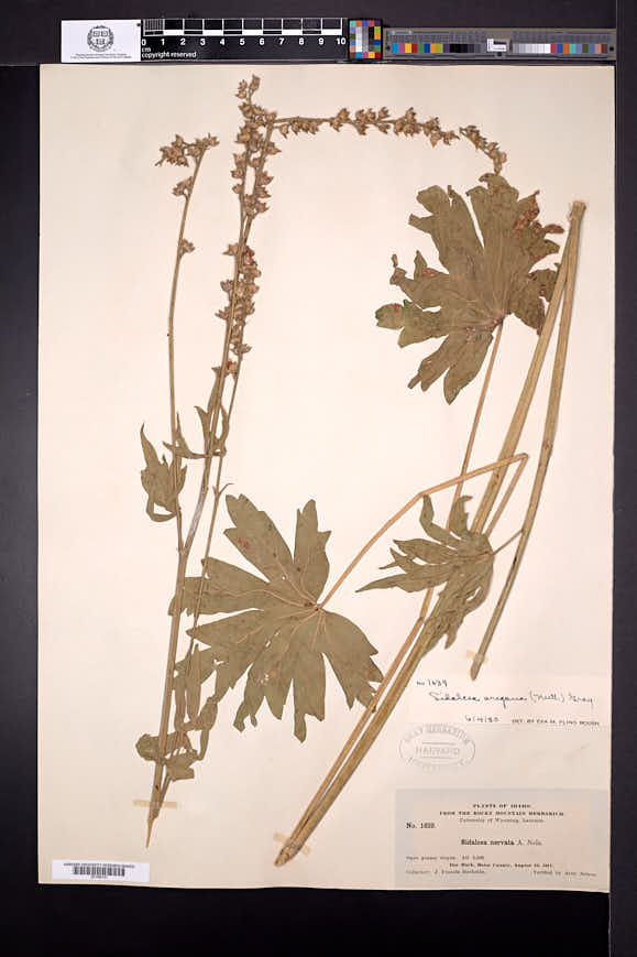 Sidalcea oregana image