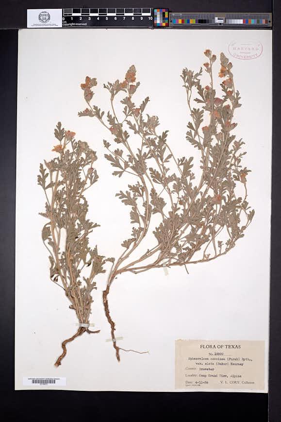 Sphaeralcea coccinea subsp. elata image