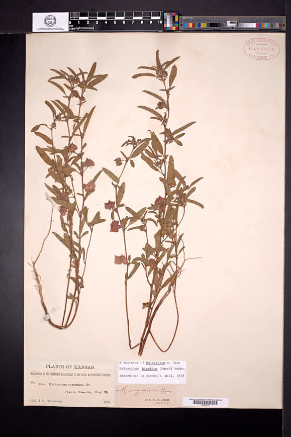 Malvastrum hispidum image