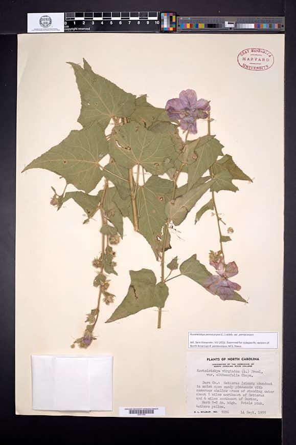 Kosteletzkya pentacarpos image