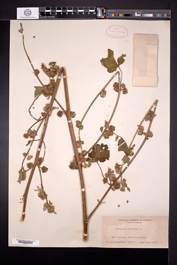 Malva multiflora image