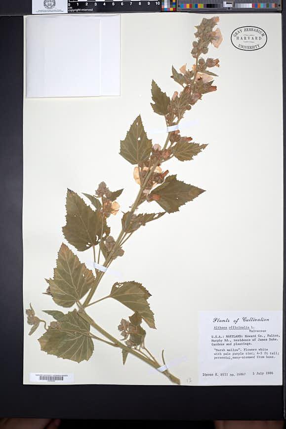 Althaea officinalis image